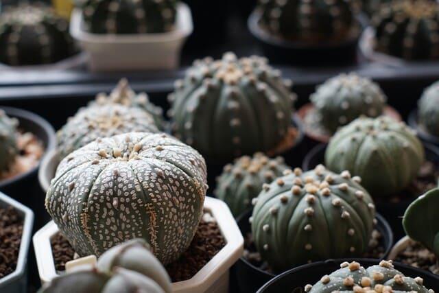 Specie-di-Astrophytum-Cacti