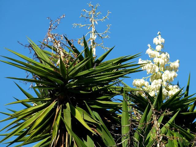 pianta-di-Agave