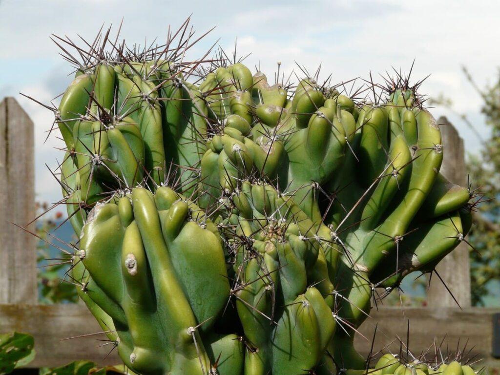 Cactus-dei-mirtilli