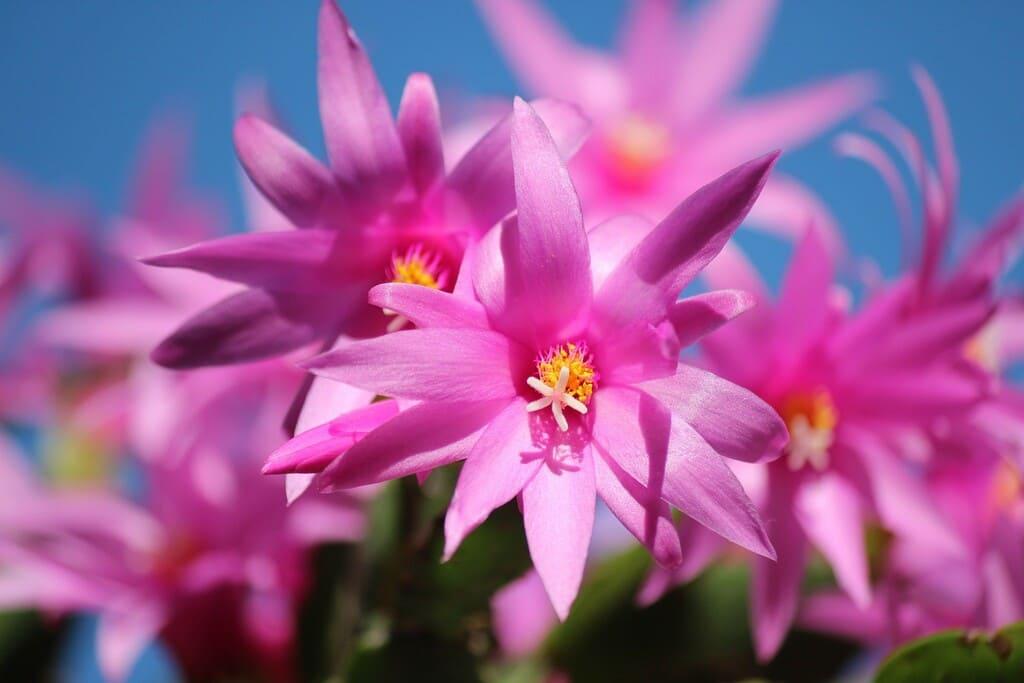 Cactus-di-Natale-caratteristiche-cura-e-coltivazione